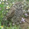 burrow owl
